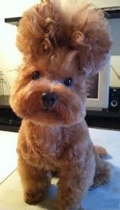 hairdo dog