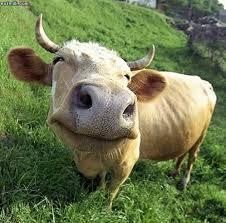 high cow