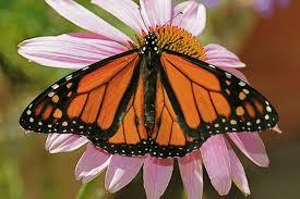 western monarch