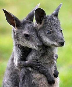 hug an aussie