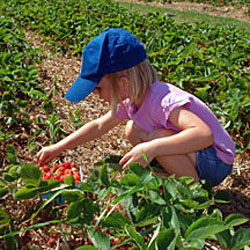 pick strawberries