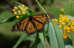 Monarch_Butterfly_Danaus_plexippus_on_Milkweed_Hybrid_2800px