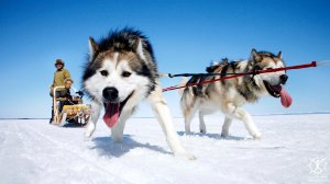 Sled-Dogs-Photo