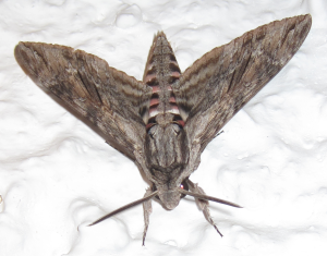 Giant_grey_moth