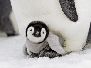 Emperor-Penguin-Chick-Snow-Hill-Island-Antarctica