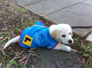 guide dog puppy