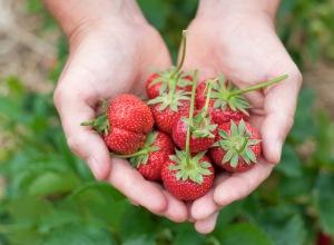 strawberryhands