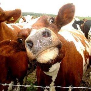 Funny-Cows-36
