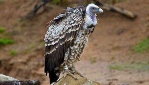 reuppells_vulture