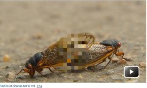 cicadaporn