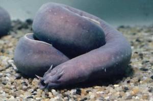 hagfish1-661x438