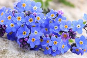 blue-forget-me-not-flower-wallpaper
