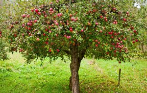 appletree_catalin_petolea