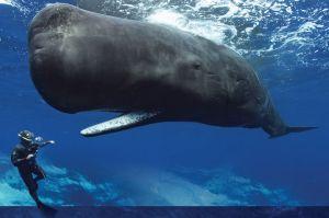 whale-1-sperm-whale-diver